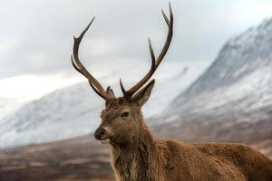 skotsk röd hjort foto