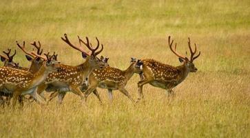 springande hjort foto