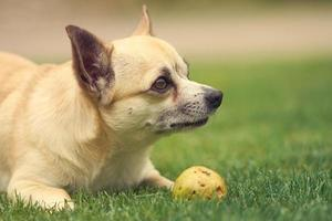 söt liten chihuahua hund foto