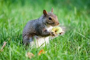 ekorre som håller äpple foto