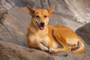 hund som ligger på klipporna foto
