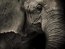 sepia tonad bild av elefant närbild foto