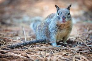 amerikansk grå ekorre på yosemite nationalpark foto