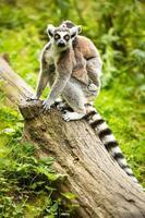 lemur kata (lemur catta) foto