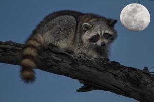 racoon och måne foto