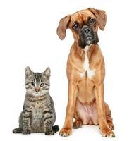 brun katt och hund boxare ras foto