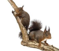 två röda ekorrar som klättrar på en gren, isolerad foto