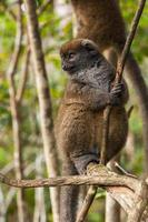 lemur i madagaskar foto