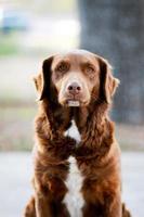 brun blandad ras hund sitter foto