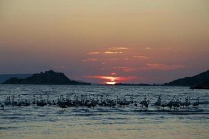 flamingos (phoenicopterus) i solnedgången foto