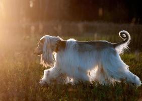 afghansk hund silhuett foto