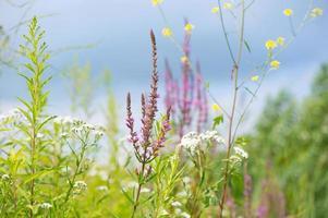 lila loosestrife och andra blommor foto