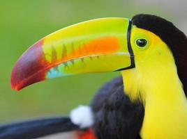toucan. köl fakturerad tukan foto