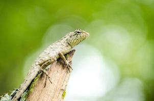 calotes emma alticristatus är spices namn på reptil foto