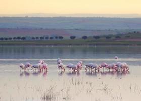 flamingo norra afrika foto