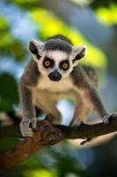 baby ring tailed lemur foto