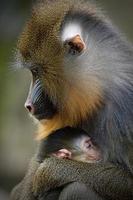 mandril mamma med unga foto