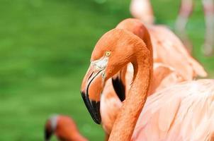 porträtt av rosa flamingo foto
