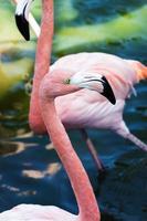 flamingo huvud närbild foto