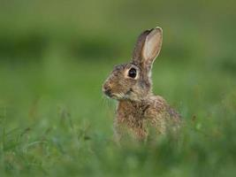 vanlig kanin (oryctolagus cuniculus)