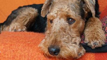 vår airedale terrier - porträtt foto