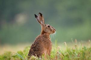 brun hare som sitter i ett gräs foto