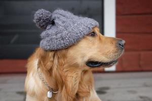 hund bär mössan foto
