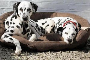två dalmatier som ligger i sängen. foto