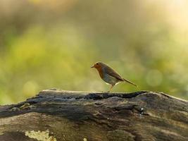 vacker europeisk robin (erithacus rubecula) foto