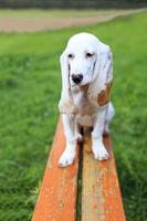 spansk hund foto