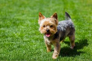 porträtt av yorkshire terrier foto
