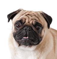 mops hund isolerad på en vit bakgrund foto