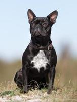 fransk bulldogg utomhus i naturen foto