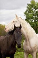 hästar ser ut som yin och yang foto