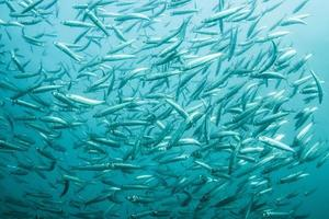 stim av sardiner foto