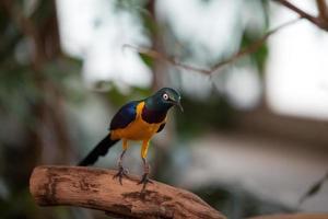 gyllene-breasted starling i naturen foto