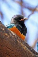 superb starling på ett träd foto
