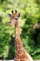 ett porträtt av en giraff med gröna träd bakom foto