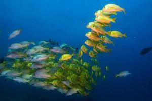 panamic porkfish foto