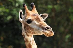 giraff foto