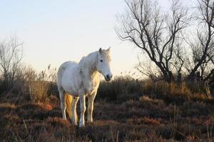 camargue häst foto