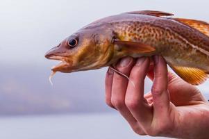 nyfångad torsk i en skotsk spjäll på fiskarens hand foto