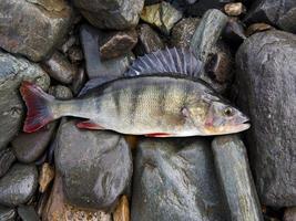 abborre, bas, sötvattensfisk foto