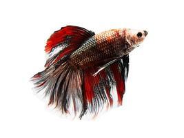 siamesiska stridsfiskar (betta fiskar) foto