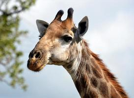 girafe foto