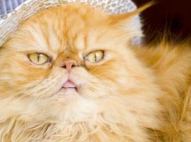 röd persisk katt med hatt foto