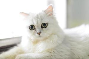 persisk chinchilla katt foto