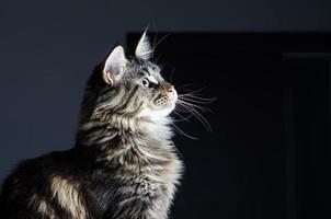 maine coon katt grå och svart porträtt foto
