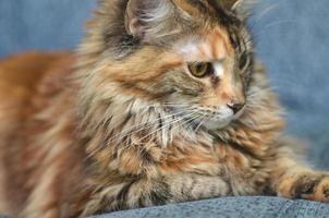 porträtt av vacker ung maine coon katt foto