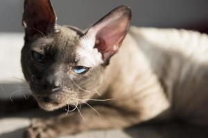 porträtt av sphynx hårlös katt foto